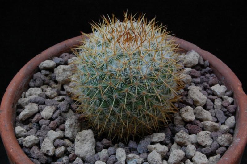Mammillaria ruestii 8455-210