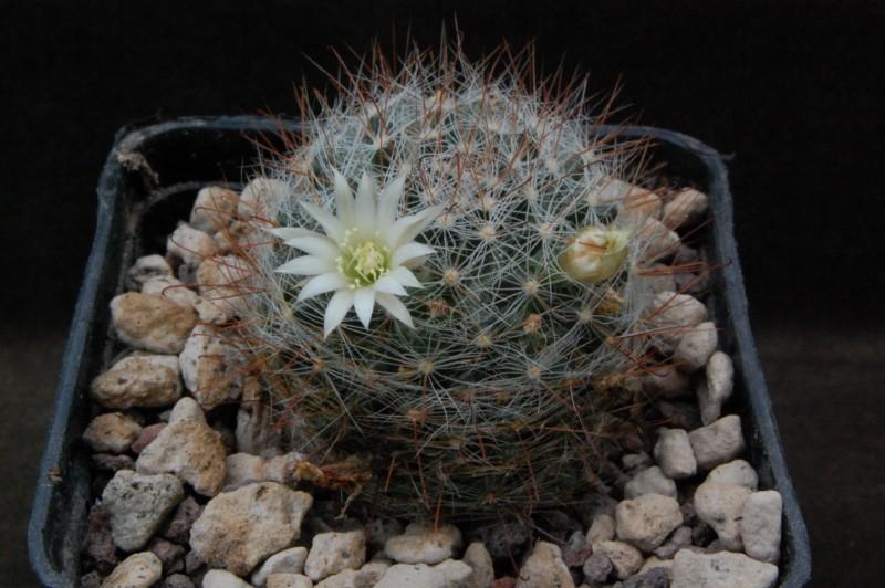 Mammillaria moeller-valdeziana Adb_1310