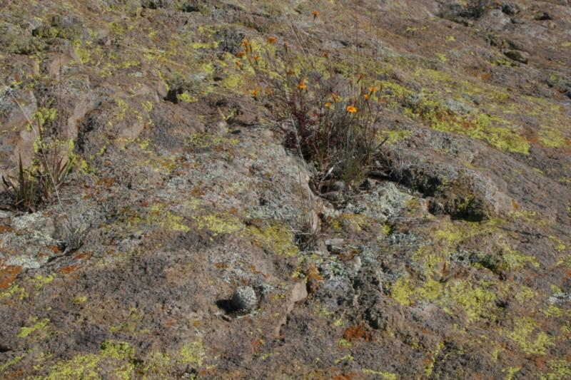 Mammillaria perezdelarosae Img_1413