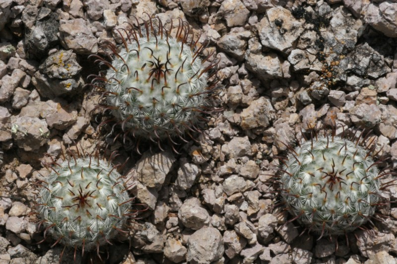 Mammillaria perezdelarosae Img_1510