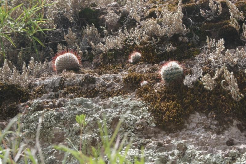 Mammillaria perezdelarosae Img_1514