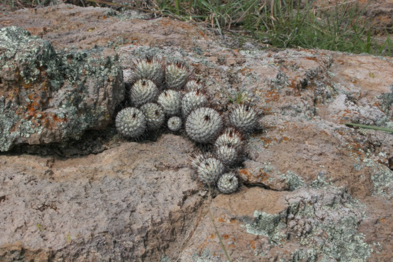 Mammillaria perezdelarosae Img_1520