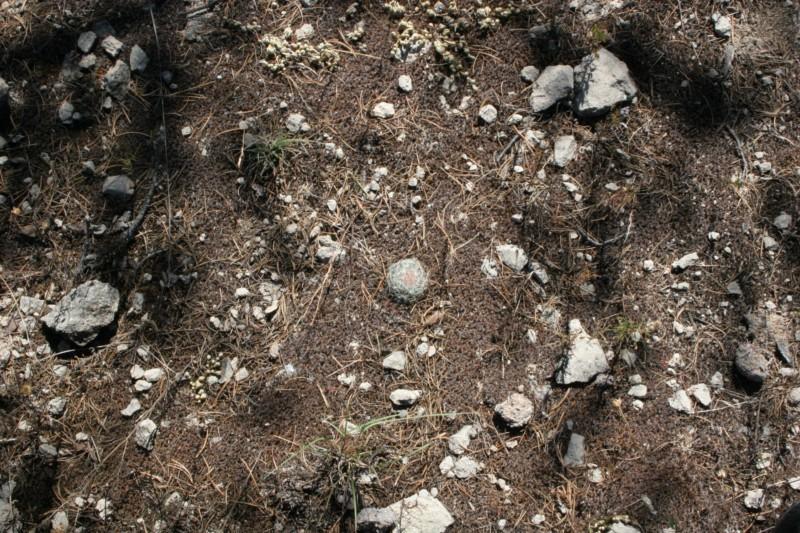Mammillaria barbata Img_1810