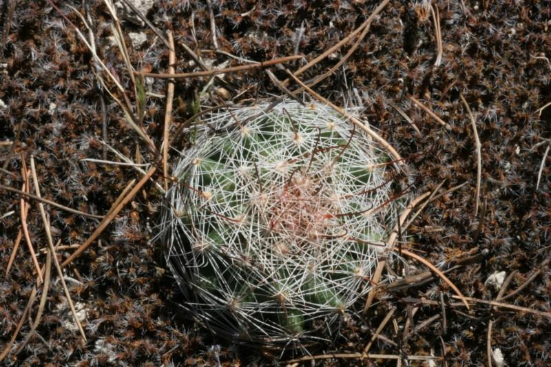 Mammillaria barbata Img_1811