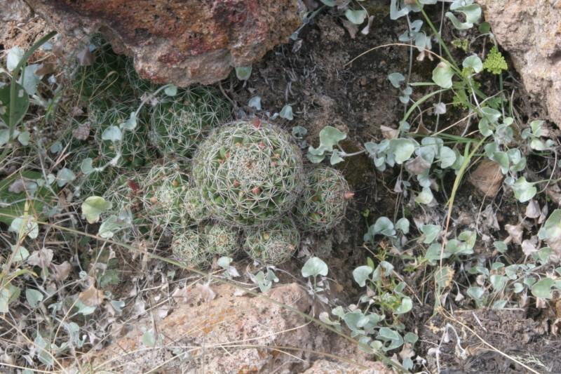Mammillaria decipiens Img_3810