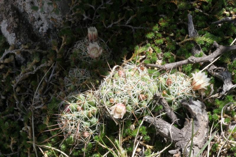 Mammillaria decipiens Img_3812