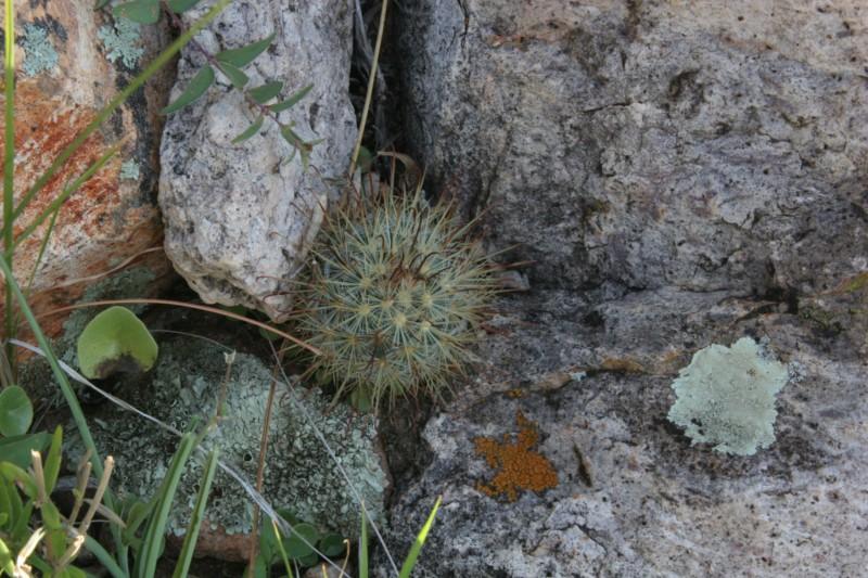 Mammillaria moelleriana Img_3815
