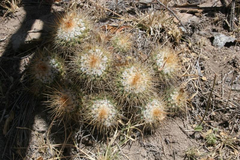 Mammillaria apozolensis    Img_4711
