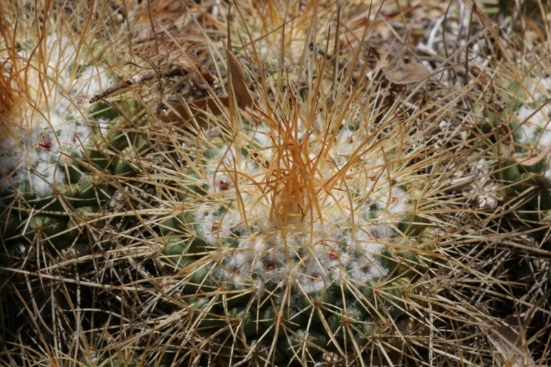 Mammillaria apozolensis    Img_4712