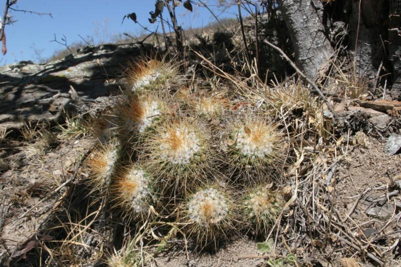 Mammillaria apozolensis    Img_4713