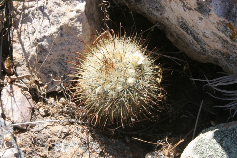 Mammillaria moelleriana Img_4812