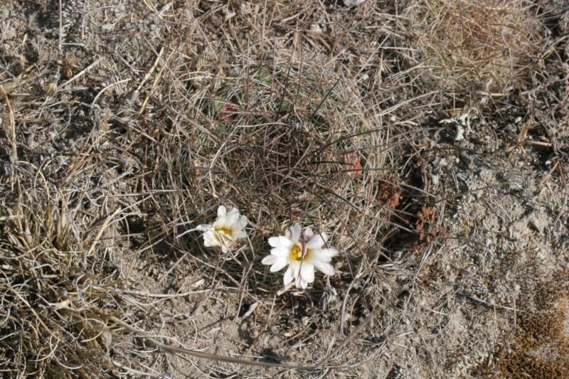 Mammillaria discolor Img_7213