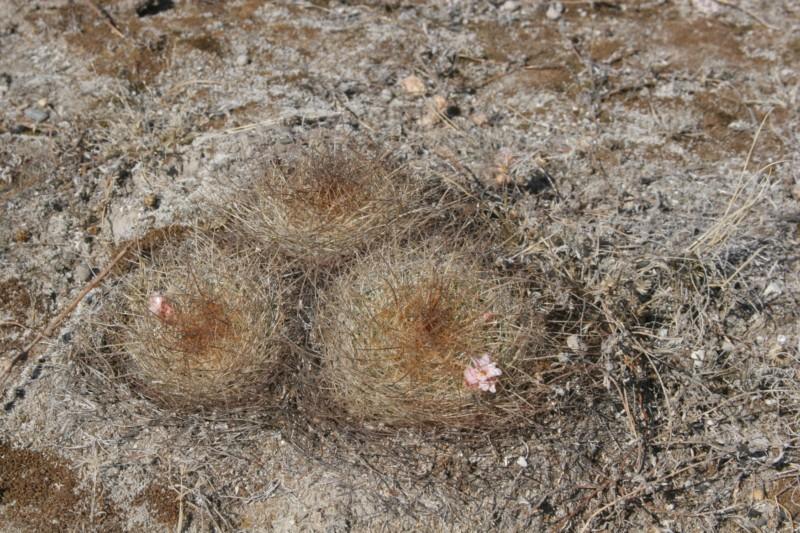 Mammillaria discolor Img_7217
