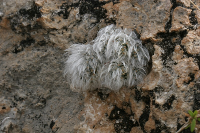 Mammillaria albicoma Img_7710