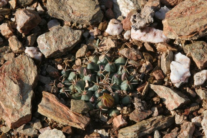 Mammillaria crassimammillis Img_7715