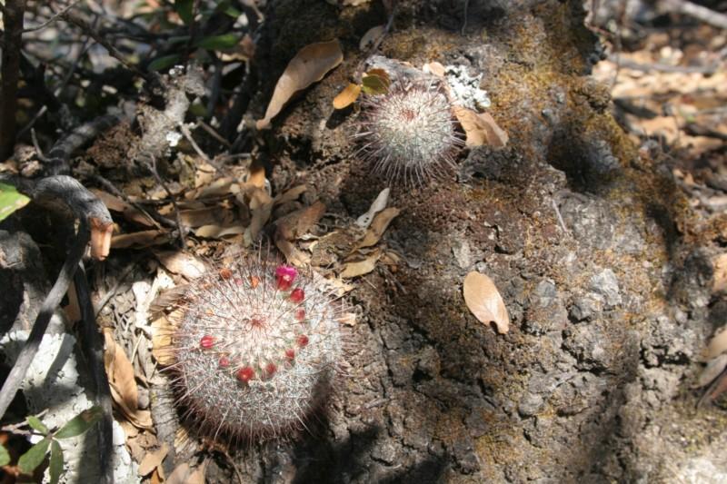 Mammillaria rekoi Img_8310