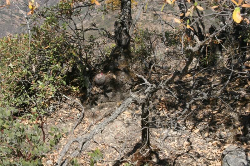 Mammillaria rekoi Img_8313