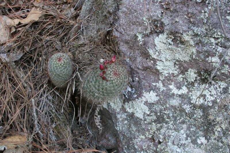 Mammillaria rekoi Img_8315