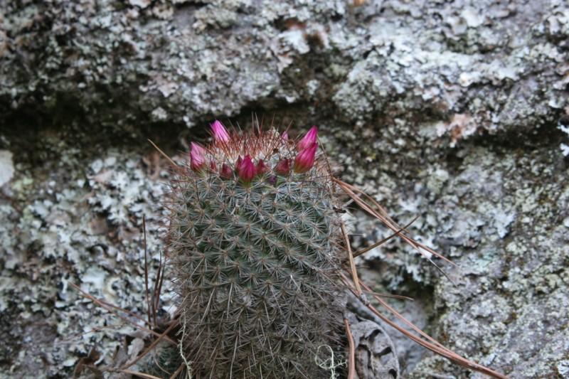 Mammillaria rekoi Img_8316