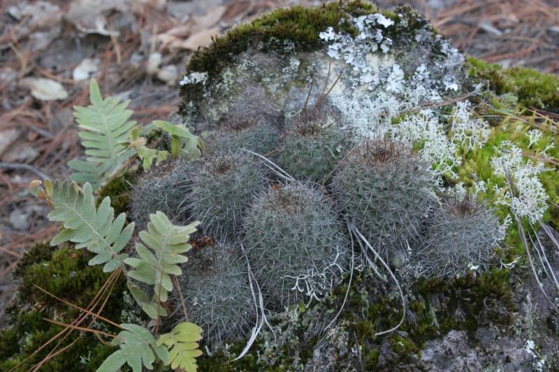 Mammillaria rekoi Img_8317