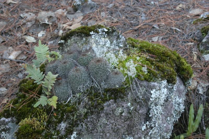 Mammillaria rekoi Img_8318