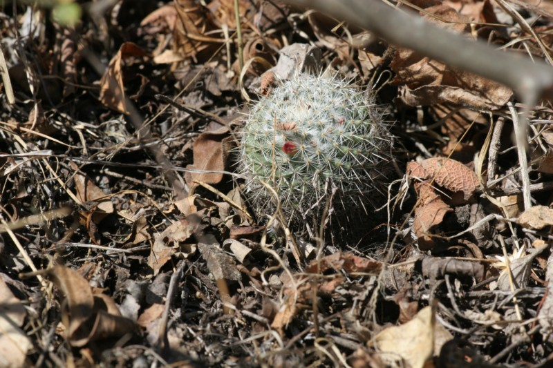 Mammillaria albilanata Img_8411
