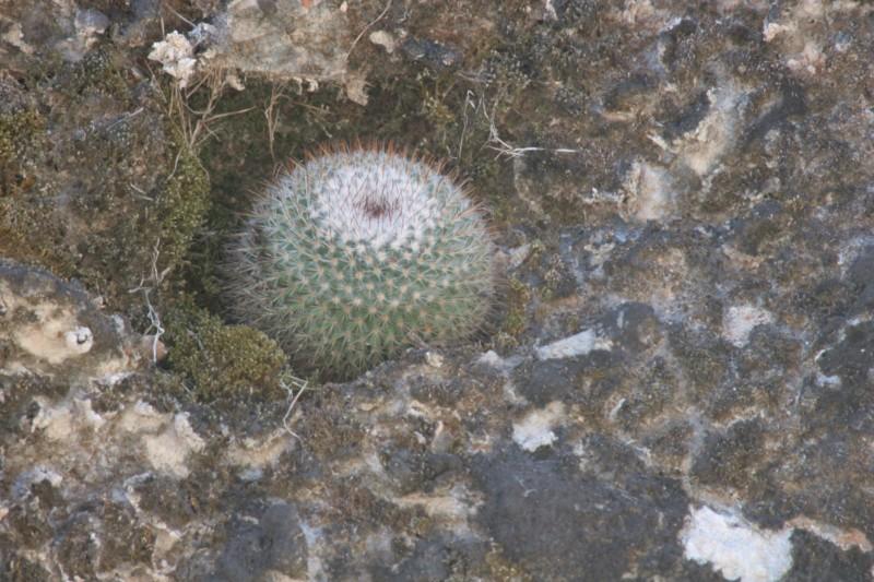 Mammillaria albilanata Img_8412