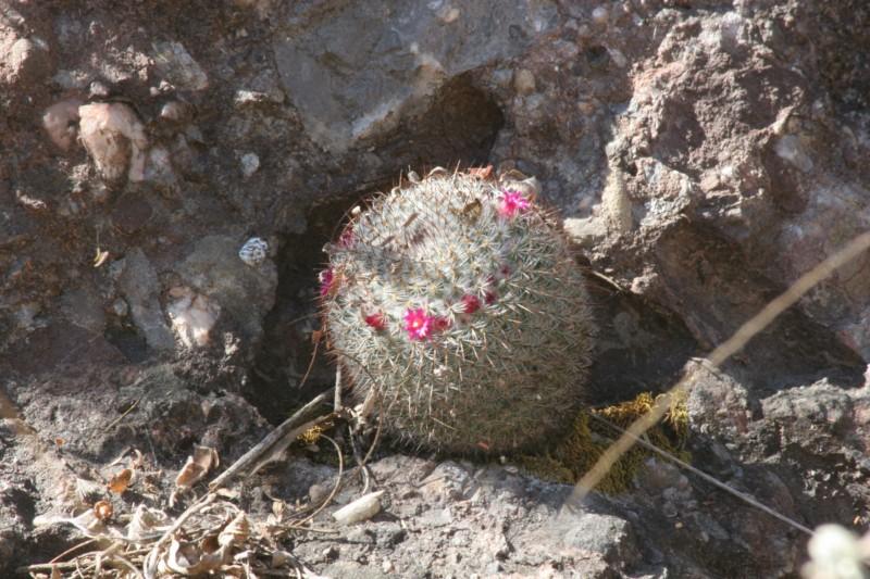 Mammillaria albilanata Img_8413