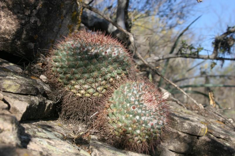 Mammillaria apozolensis    Img_8611
