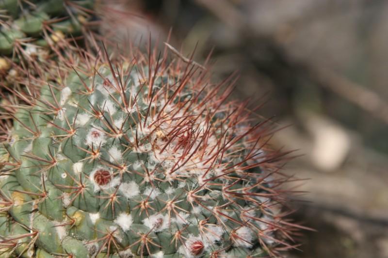 Mammillaria apozolensis    Img_8612