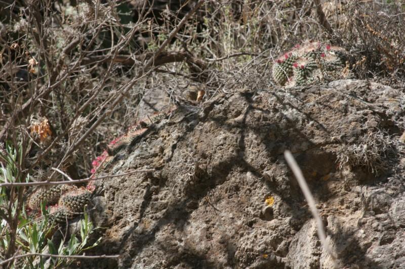 Mammillaria apozolensis    Img_8614
