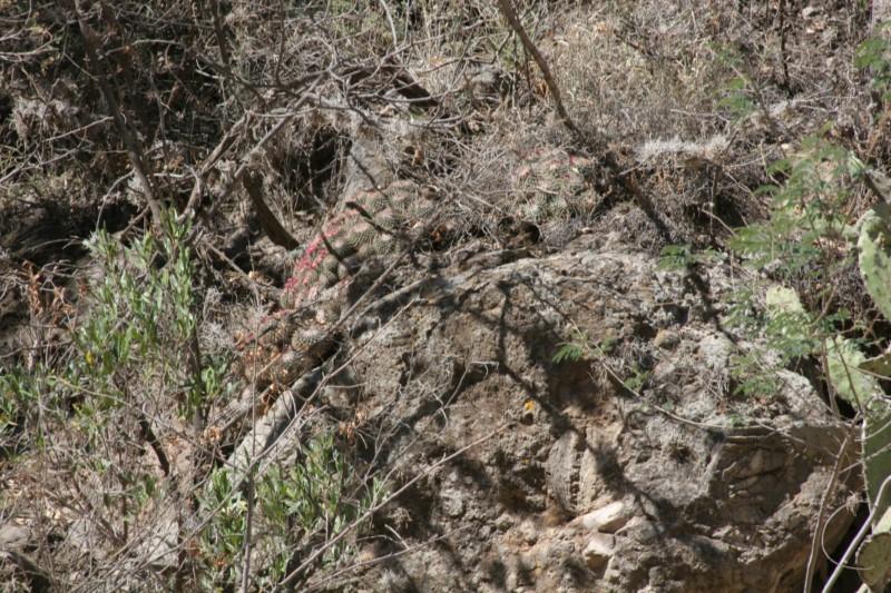 Mammillaria apozolensis    Img_8616