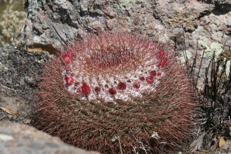 Mammillaria apozolensis    Img_8622