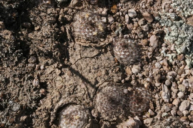 Mammillaria perezdelarosae Img_8625