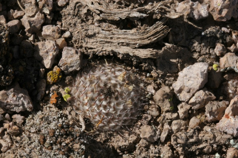 Mammillaria perezdelarosae Img_8626