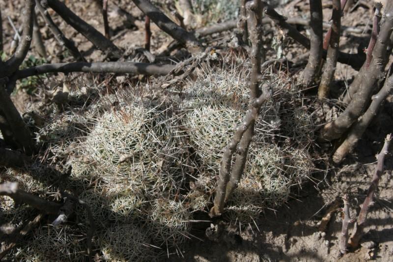 Mammillaria decipiens Img_8710