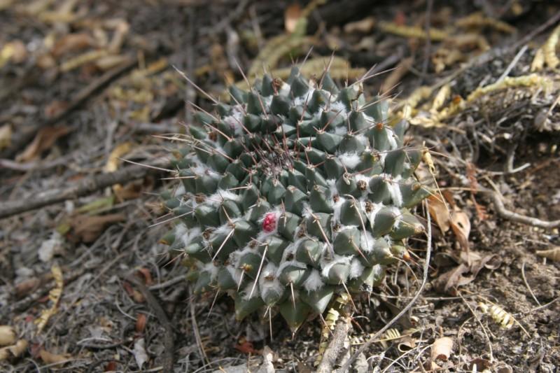 Mammillaria macracantha Img_8911