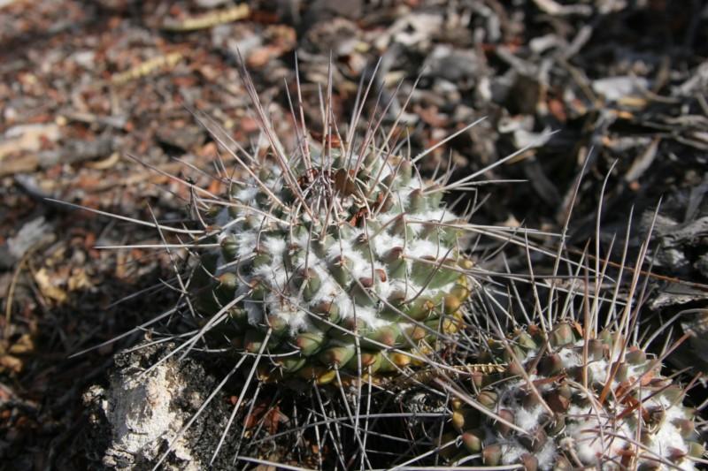 Mammillaria macracantha Img_8913