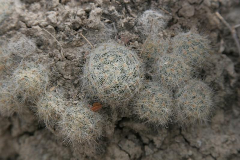 Mammillaria baumii Img_8921