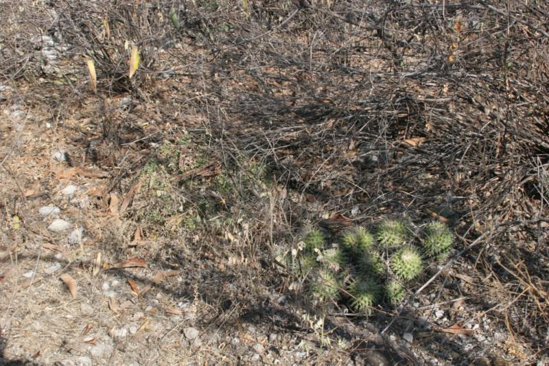 Mammillaria seitziana Img_9210