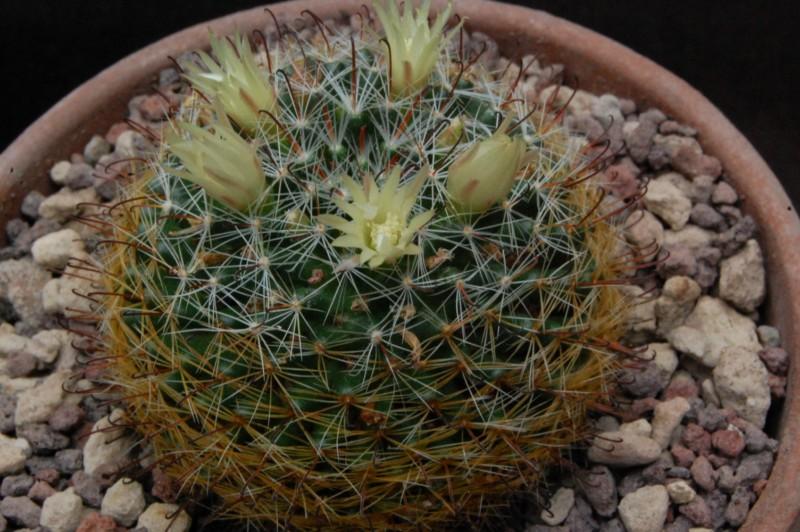 Mammillaria moeller-valdeziana M_82_a10