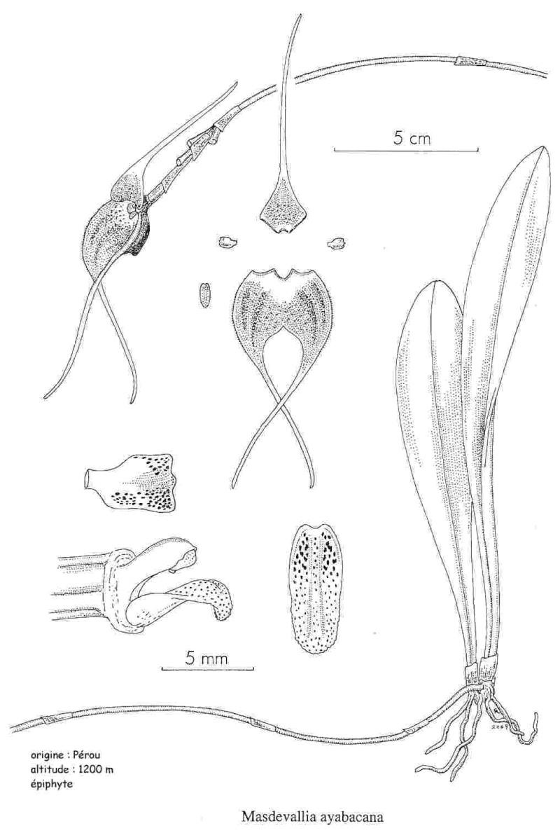 Pabstiella arcuata Ayabac10