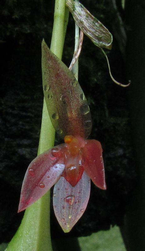Acronia quaternaria ex Pleurothallis quaternaria Img_3610