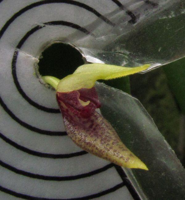 Pabstiella alligatorifera ( ex. Pleurothallis alligatorifera ) ou Pabstiella arcuata Img_3615