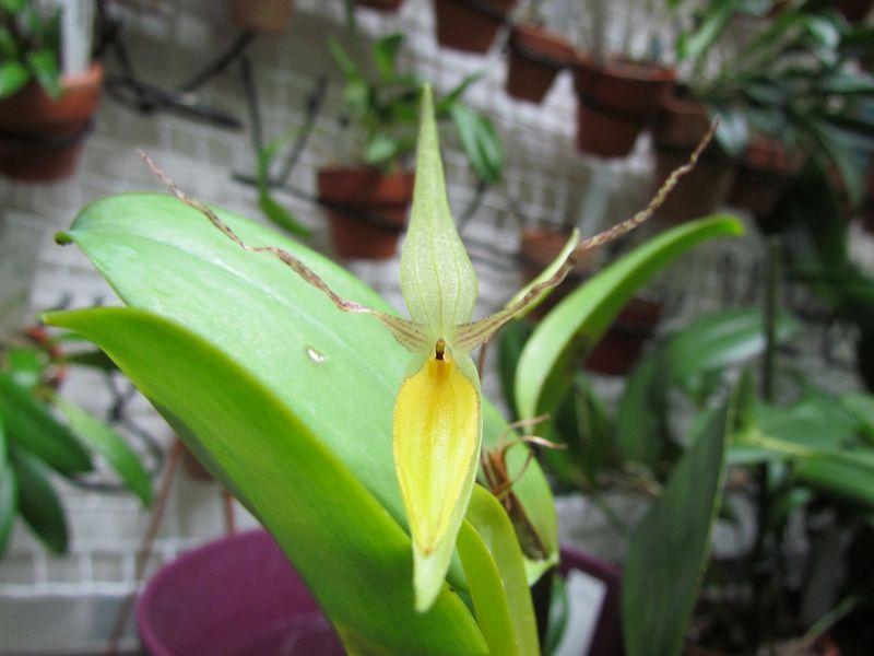 Lindleyalis hemirhoda ( ex. Pleurothallis hemirhoda ) Img_3711