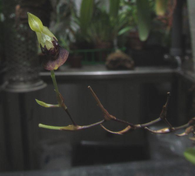Pabstiella alligatorifera ( ex. Pleurothallis alligatorifera ) ou Pabstiella arcuata Img_3714