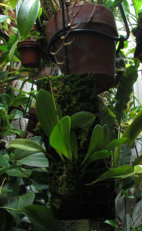 Pabstiella arcuata Img_3715