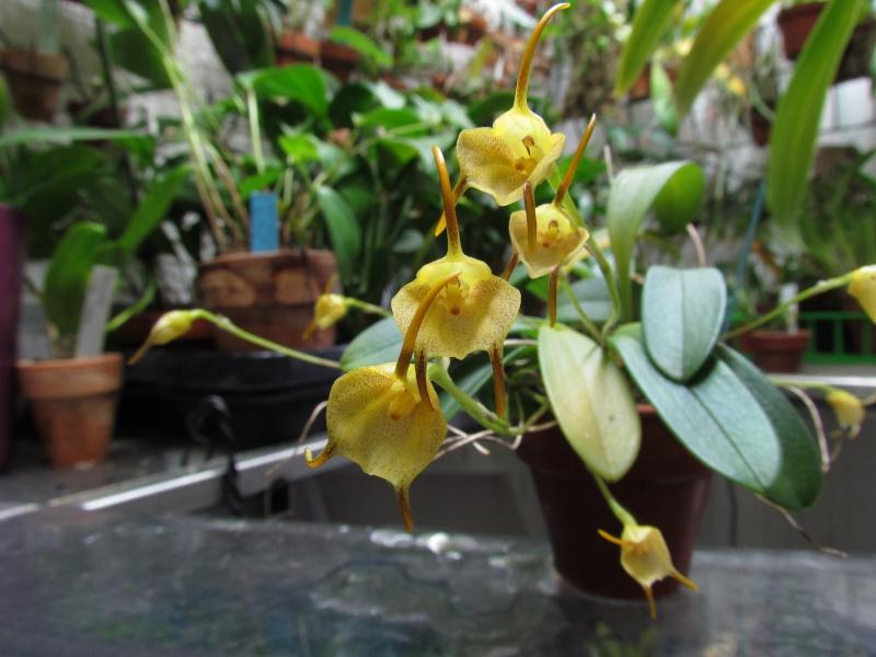 Acinopetala floribunda ( ex. Masdevallia floribunda ) Img_3719