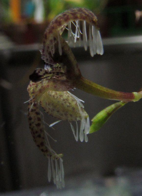 Effusiella ornata ( ex. Pleurothallis ornata ) nouvelles photos. Img_3723