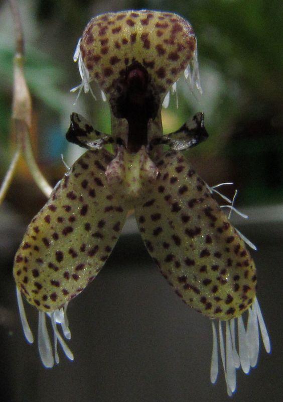 Effusiella ornata ( ex. Pleurothallis ornata ) nouvelles photos. Img_3724